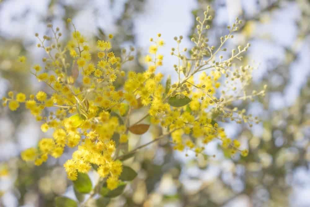 Orenda Home Garden_Australian Native Plants Golden Wattle