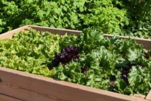 Orenda Home Garden_Lettuce Growing on Raised Planter Boxes